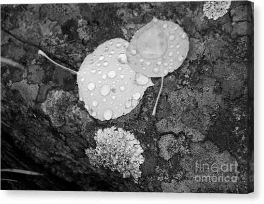 Aspen Leaves In The Rain Canvas Print