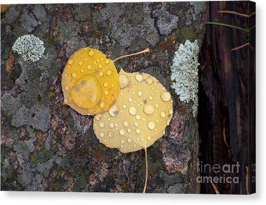 Aspen Tears Canvas Print