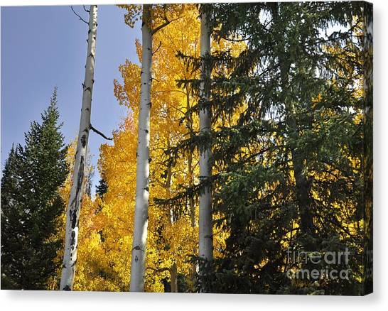 Aspens High In The Sky Canvas Print by Nava Thompson