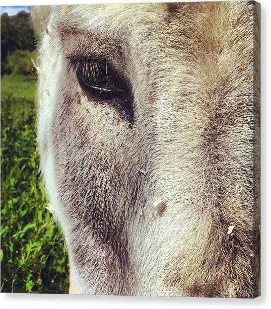 Donkeys Canvas Print - Ass by Chloe Stickland