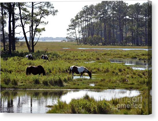 Assateague Wild Horses Feeding Canvas Print