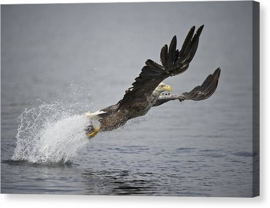 Eagle In Flight Canvas Print - At Full Stretch by Andy Astbury