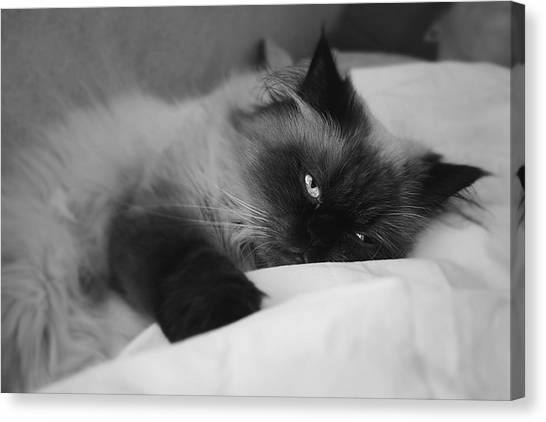 Himalayan Cats Canvas Print - At Peace by Ricky Sandoval