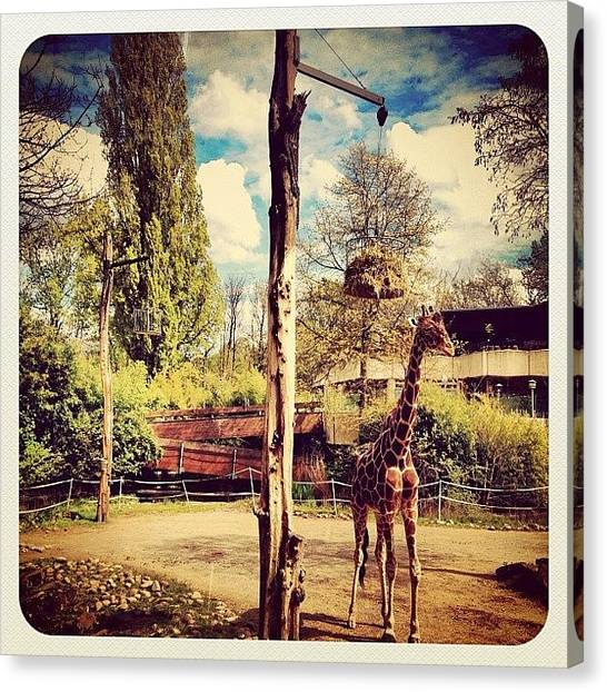 Giraffes Canvas Print - At The #zoo Some Weeks Back: #giraffe by Wilbert Claessens