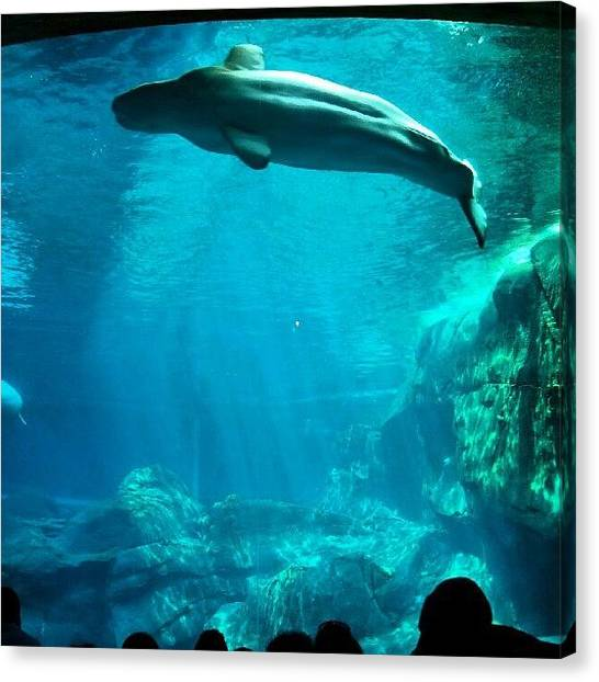 Aquariums Canvas Print - #atlanta #georgia #aquarium #belugawhale by Harvey Christian