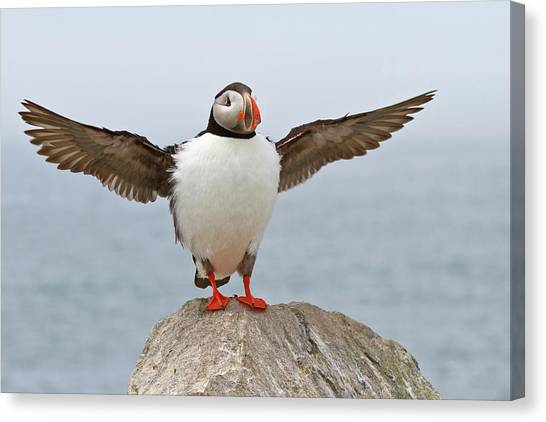 New Brunswick Canvas Print - Atlantic Puffin by Image by Michael Rickard