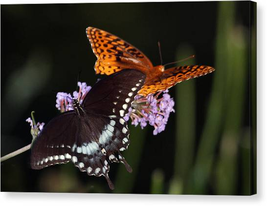 August Butterflies Canvas Print by Kathryn Mayhue