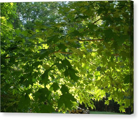 August Leaf Canopy Canvas Print by Suzanne Fenster