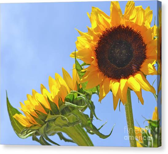 August Sunshine Canvas Print