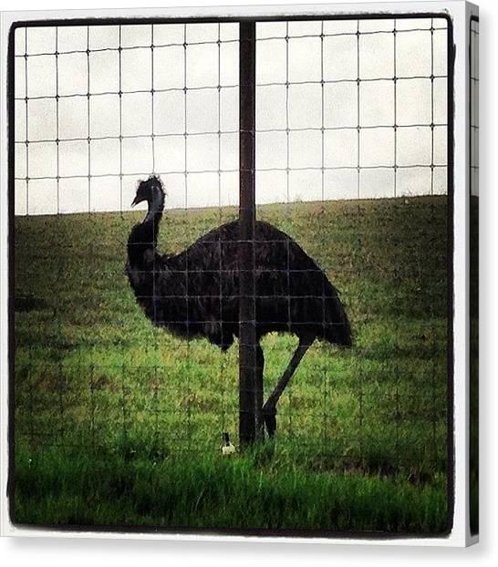 Ostriches Canvas Print - #austin #tx #animal #ostrich #bird by Tiffani Alvarez