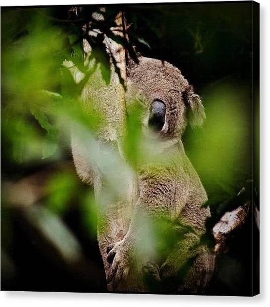 Koala Canvas Print - #australia #koala by Francesco Cattuto