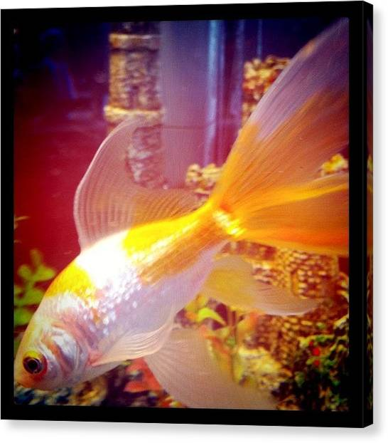 Goldfish Canvas Print - #australia #westernaustralia #wa by Kirk Roberts