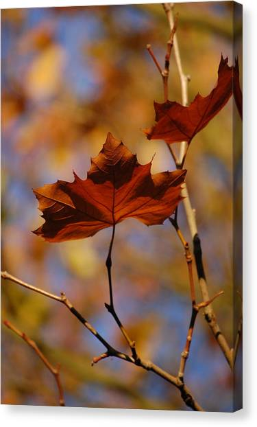 Autumn Leaves II Canvas Print by Dickon Thompson