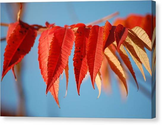 Autumn Scarlet Canvas Print by Dickon Thompson