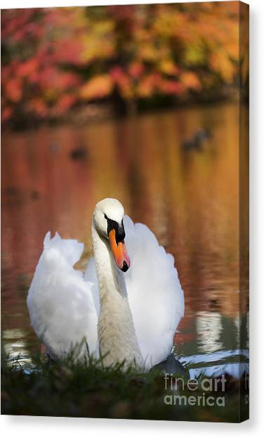 Autumn Swan Canvas Print by Leslie Leda