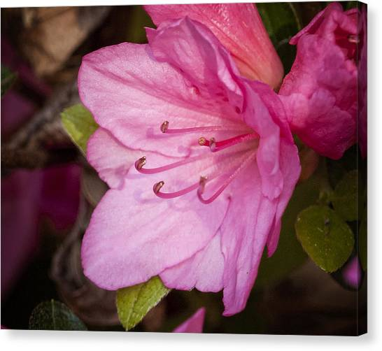 Azalea Up Close And Personal Canvas Print by Michael Putnam