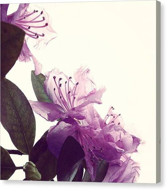 Still Life Canvas Print - Azaleas Dissolving by Angela Josephine