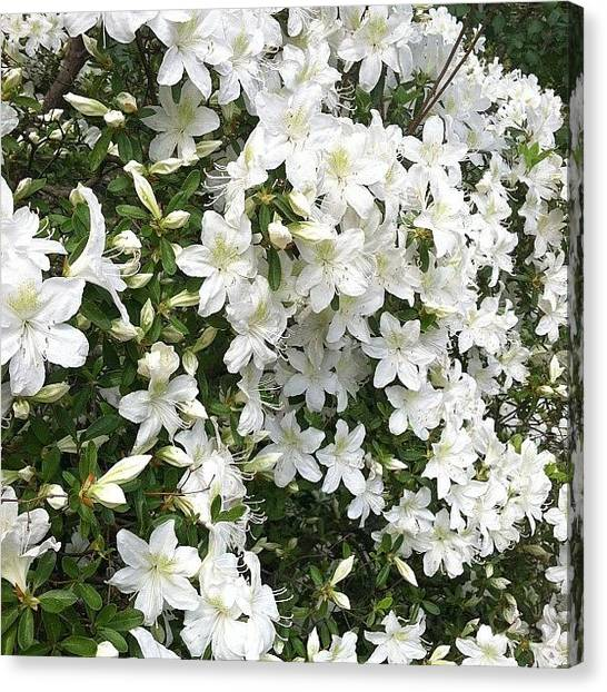 Biology Canvas Print - Azaleas by Michelle White