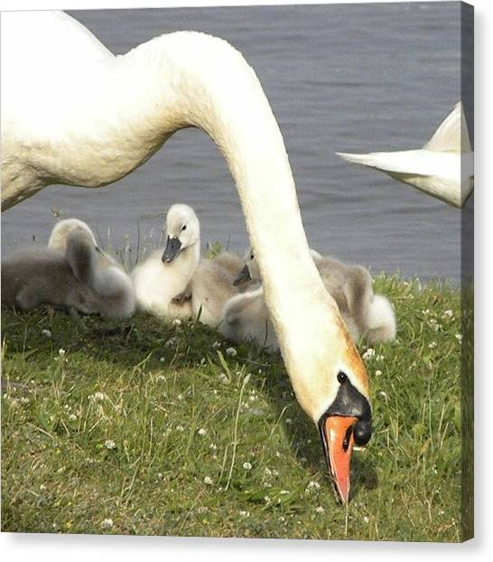Swans Canvas Print - Babies! #swan #swans #baby #babies by Jessie Schafer