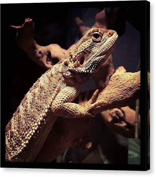 Lizards Canvas Print - Baby Baby by Amy Porter