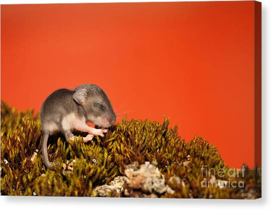 Baby Deer Mouse On Moss Canvas Print by Max Allen