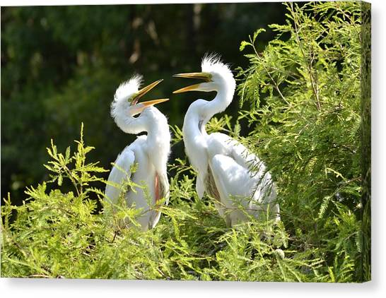 Baby Egrets Chattering Canvas Print