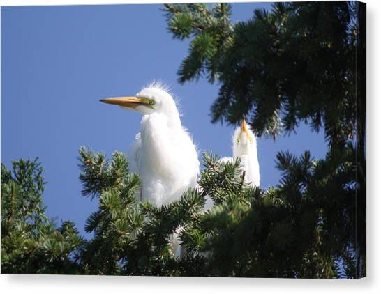 Baby Egrets Canvas Print