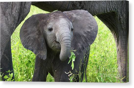 Baby Elephant With A Twig Canvas Print