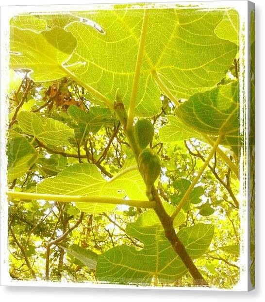 Fruit Trees Canvas Print - Baby Figs by Micah Mulinix