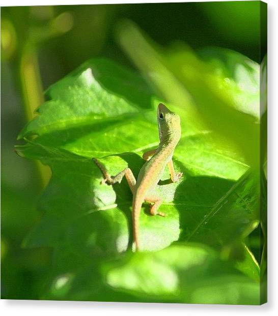 Lizards Canvas Print - Baby Gecko by Tony Delsignore