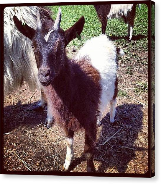 Goats Canvas Print - #baby #goat #kid #babygoat #cute by Miss Wilkinson