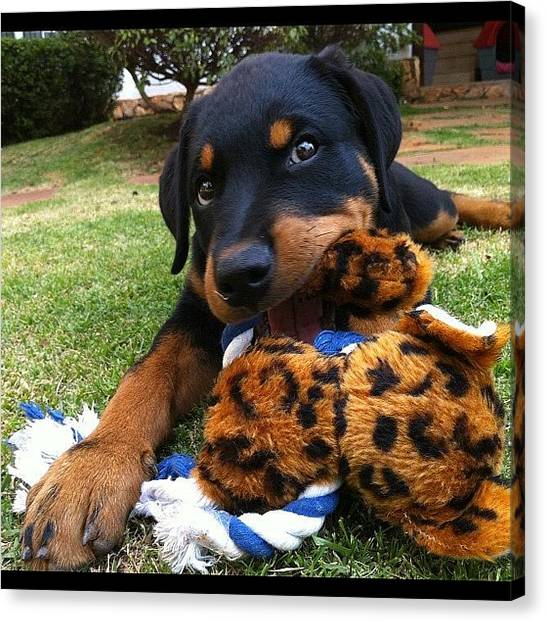 Rottweilers Canvas Print - Baby Hera - The Rottie by Adriana Guimaraes