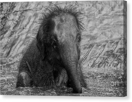 Pigmy Canvas Print - Baby Pigmy Borneo Elephant  by Gary Bridger