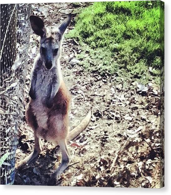 Kangaroo Canvas Print - Baby Roo by Jessica Daubenmire