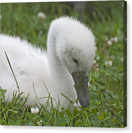 Baby Swan Resting Canvas Print by Ruth H Curtis