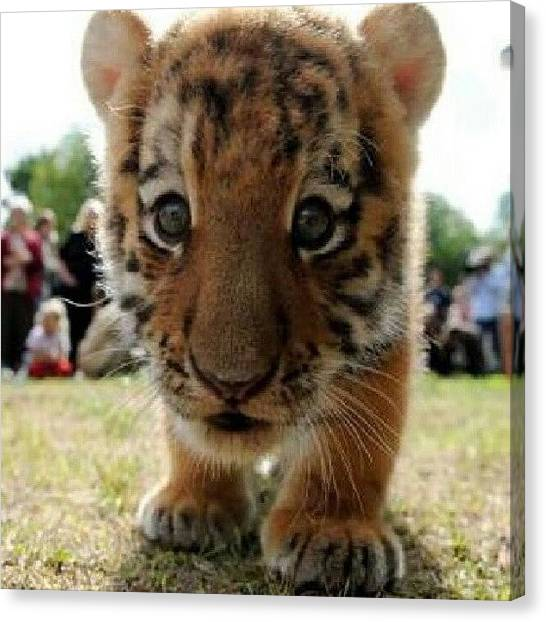 Tigers Canvas Print - Baby Tiger...look At Those Little by Eric Only