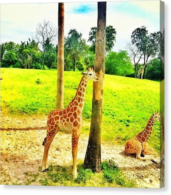 Giraffes Canvas Print - #babygiraffe #giraffe #buschgardens by Crystal Duncanson