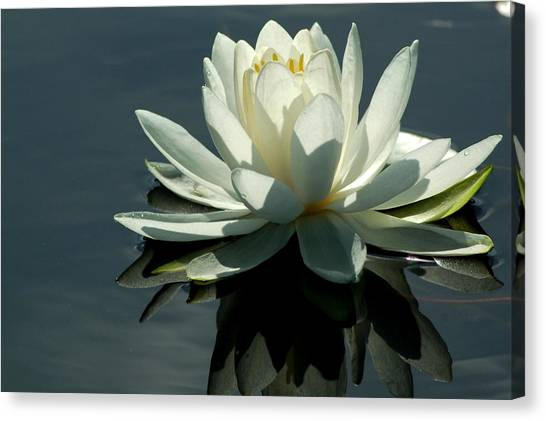 Backlite Lily Canvas Print