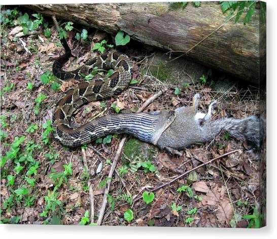 Timber Rattlesnakes Canvas Print - Bad Day In Squirrelville by Doug McPherson