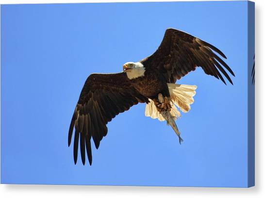 Bald Eagle Catch Canvas Print