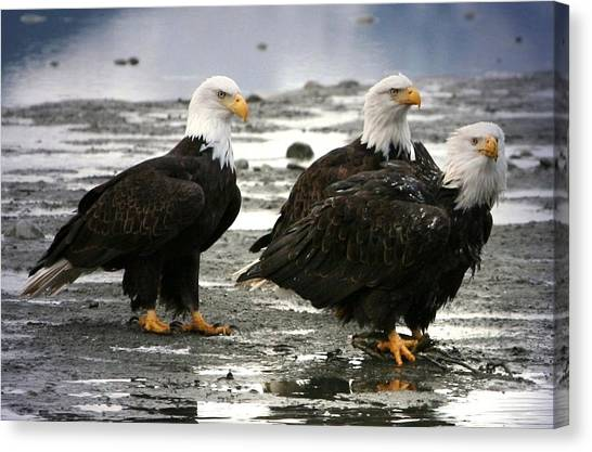 Bald Eagle Trio Canvas Print by Carrie OBrien Sibley