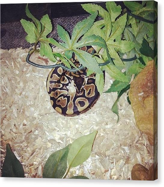 Pythons Canvas Print - #ballpython #baby  #reptile #pet #tank by Jordan Marcia