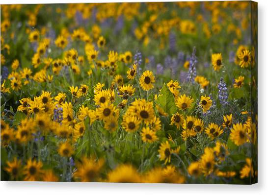 Balsamroot And Lupine Canvas Print