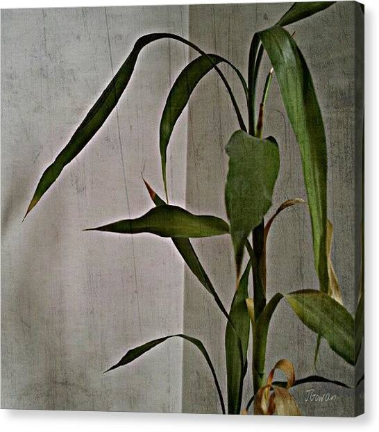Bamboo Canvas Print - Bamboo. #bamboo #leaves #tall #old by Jess Gowan