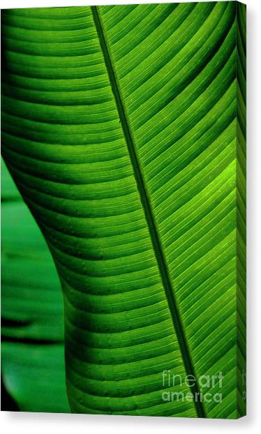 Surfboard Fence Canvas Print - Banana Leaf by Bob Christopher