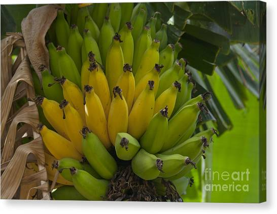 Banana Tree Canvas Print - Banana by Sharon Mau