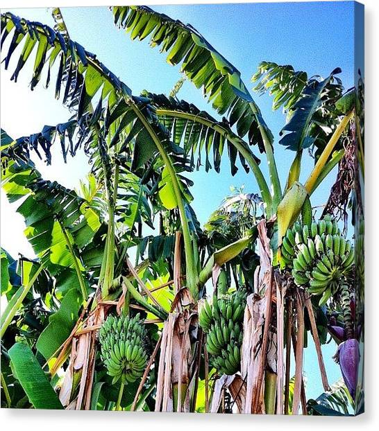 Bananas Canvas Print - Banana's Growing In Eastvale! by Rick  Annette