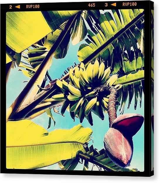 Banana Tree Canvas Print - Bananas! by Kim Hudson