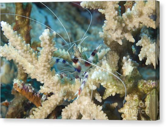 Kimbe Bay Canvas Print - Banded Coral Shrimp Amongst Staghorn by Steve Jones