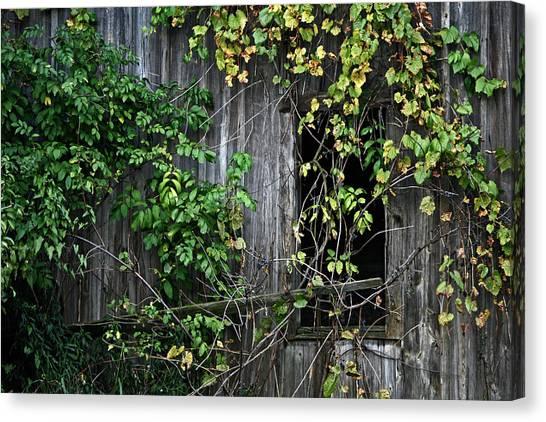 Barn Window Vine Canvas Print